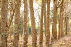 Row of rubber tree Royalty Free Stock Photos