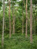 Rubber trees at the rubber`s garden stock photography