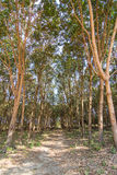 Row of rubber trees Royalty Free Stock Image