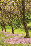 Row of sakura blossom trees with fallen pink flowers and squirrel in spring Stock Photography