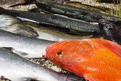 Row of salmon and rockfish on beach Stock Image