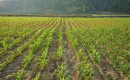 Row of sapling on vegetable field Royalty Free Stock Image