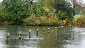 Row of sea gulls in Hyde Park in London. Row of seagulls in autumn near Italian Garden in Hyde Park in London in the rain  Great Britain Stock Photo