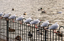 a row of seagulls Royalty Free Stock Photo