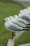 Row of seagulls on fence Stock Images