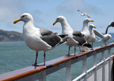 A row of seagulls on a fence railing Stock Photos