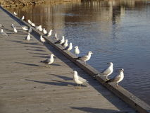 Row of Seagulls Royalty Free Stock Images
