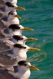 Row of seagulls by sea. Row or line of seagulls by sea looking in same direction Royalty Free Stock Photography
