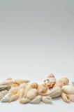 A row of seashells Royalty Free Stock Photo