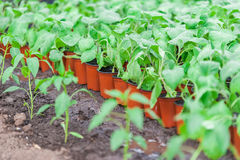 Row of seedling in pots on plantation Royalty Free Stock Photos