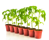 A row of seedling tomato in pots Stock Photos