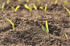 Row of seedlings of corn Stock Image