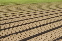 Row of seedlings growing in the agricultural field 1 Stock Images