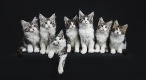 Row of seven black tabby with white Maine Coons cats