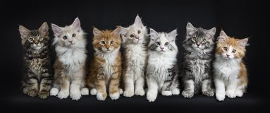 Row of seven maine coon cats on black