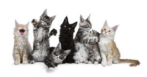 Row of seven Maine Coons on white. Row of 7 Maine Coon cat / kittens acting funny isolated on a white background Royalty Free Stock Photography