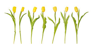 A row from seven yellow tulips Stock Image