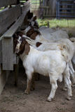 Row of several goats eating in barn. Stock Photography