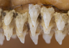 Row of shark teeth in jaw. Selective focus stock photos