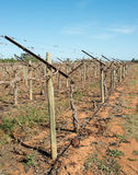 Row of Shaw Swing Arm Trellis in Vineyard. Royalty Free Stock Photography