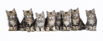 Row of Siberian Forest cat / kittens isolated on white background Royalty Free Stock Photos