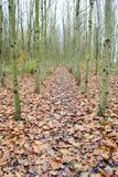 Row of Silver Ash trees Stock Photo