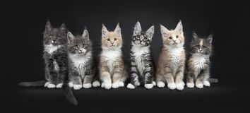 Row of six multicolored Maine Coon cat kittens on black background.