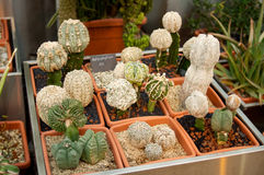 Row of small cacti Royalty Free Stock Images