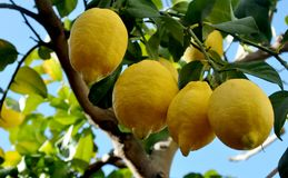 Row of splendid lemons on the branch. And blue sky background Royalty Free Stock Photography