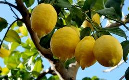 Row of splendid lemons on the branch Royalty Free Stock Photography
