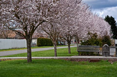 Row of Spring Blooming Cherry Trees in Town Stock Photos