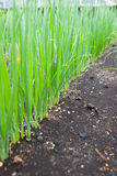 Row of Spring Onions Royalty Free Stock Photo