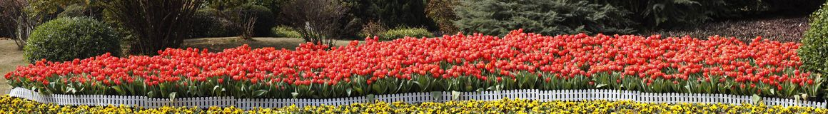 Row of Spring Tulips Stock Photo