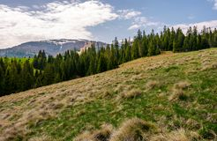 Row of spruce trees on a grassy hillside. Lovely springtime landscape on a cloudy day. mountain with snowy peak in the distance stock photography