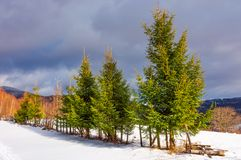 Row of spruce trees on top of a hill in winter. Beautiful scenery on a cloudy day in mountains Stock Image