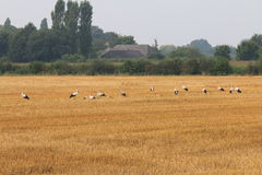 Row of storks in dutch fields, Brummen Stock Image