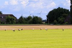 Row of storks in dutch meadow, Brummen Stock Image