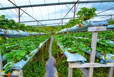 Row of Strawberries at Hydroponic Farm in Cameron highlands, Malaysia. The Cameron Highlands is Malaysia's most extensive hill station. It occupies an area of Royalty Free Stock Photography
