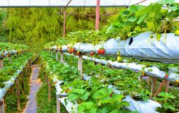 Row of Strawberries at Hydroponic Farm in Cameron highlands, Malaysia. The Cameron Highlands is Malaysia's most extensive hill station. It occupies an area of Stock Image