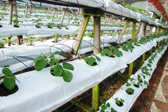 A row of strawberry plant Stock Images