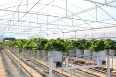 Row of Strawberry Trees In Closed Farming System Royalty Free Stock Image
