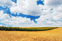 Row of sunflowers in a golden wheat field Stock Images