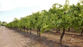 Row Of Sutana Vines. Stock Image
