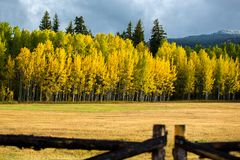 Row of Tall Aspen Trees Across Field with Leaves of Gold. Row of tall Aspen trees across a field with leaves of gold and a wooden fence in the foreground Royalty Free Stock Photography