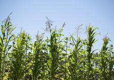 Row of tall corn Royalty Free Stock Photos