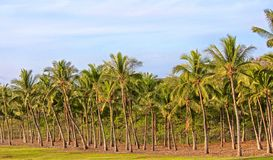 Palm Trees. Row of tall palm trees along plush green grass in Maui Royalty Free Stock Images