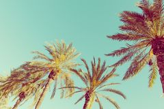 Row of tall palm trees on turquoise sky background. 60s Vintage style toned with copy space. Tropical theme. Seaside ocean beach royalty free stock photography