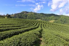 The row of the tea farm Stock Images