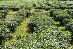 Row of Tea in Field Royalty Free Stock Photography