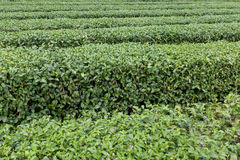 Row of tea tree close up view Stock Images